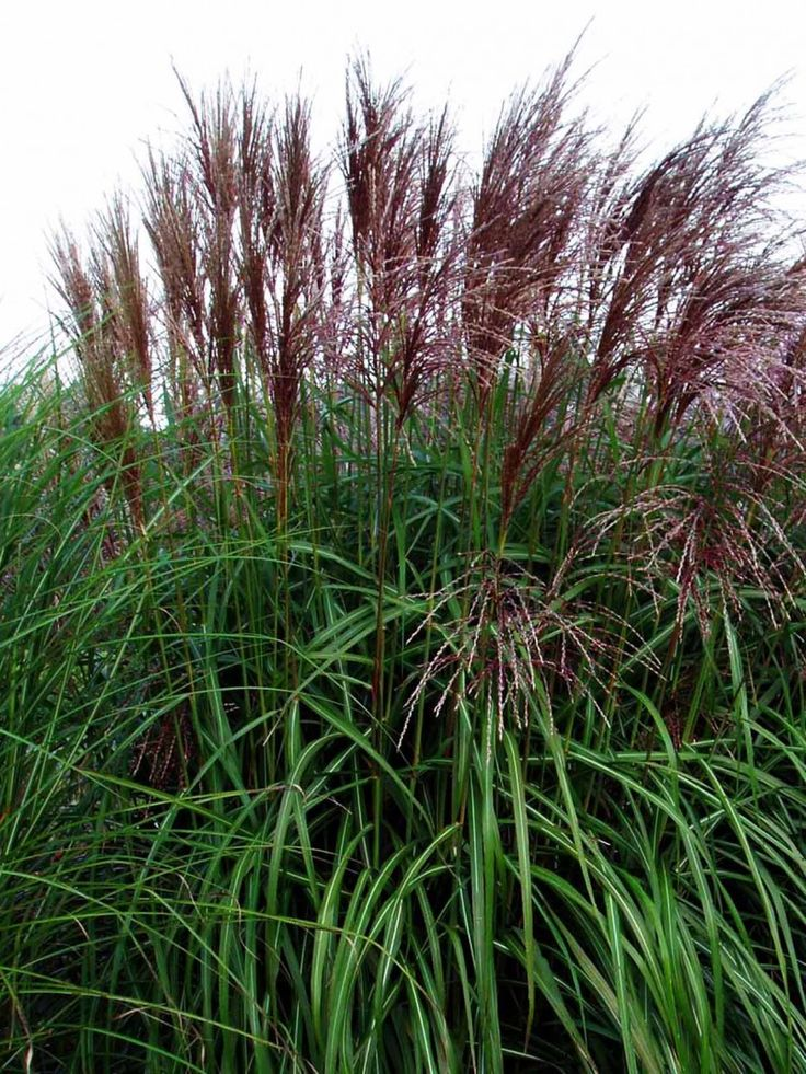 miscanthus sinensis malepartus b plant. Black Bedroom Furniture Sets. Home Design Ideas