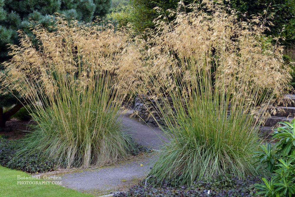 Stipa gigantea b plant for Graminee geante